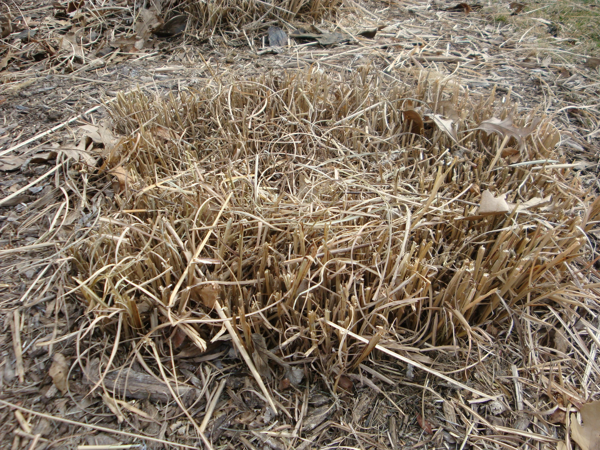 When To Cut Ornamental Grasses Cutting down ornamental grass and other spring clean up my turkey ornamental grass workwithnaturefo