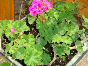 How to winter over your geraniums