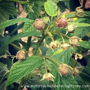 Pruning Raspberry Plants