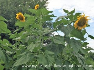 harvesting organic sunflower seeds