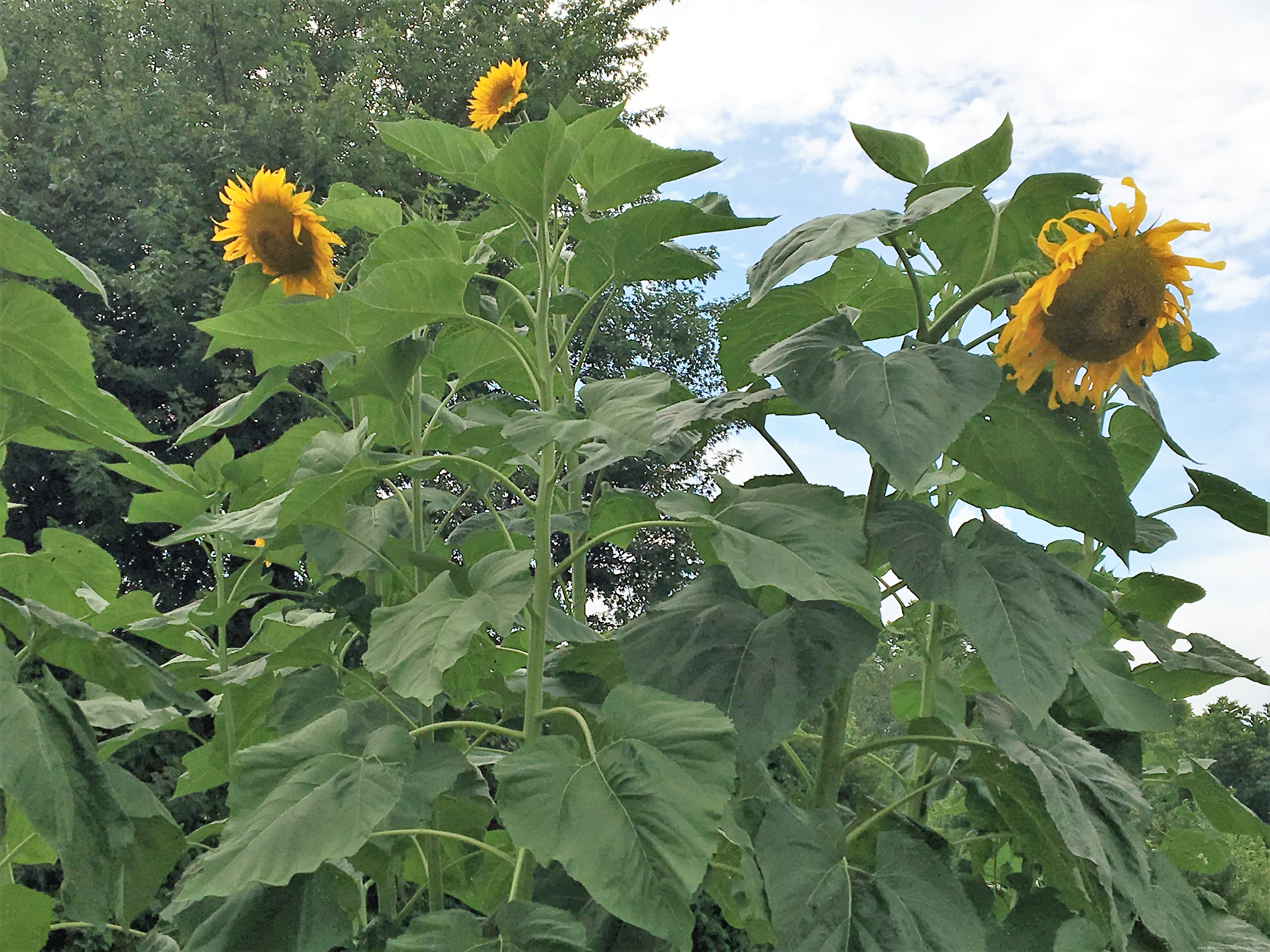 how to get sunflower seeds from the flower